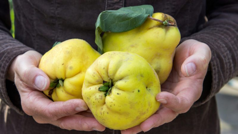 Hand holding yellow quince fruit.