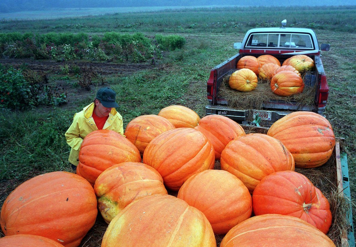 Halloween is still more than a month away, but farmer Wayne Woodard already has 100-pound pumpkins for sale at a roadside stand in New Milford, Conn PUMPKINS, NEW MILFORD, USA