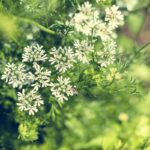 What Is Anise and How Do I Bake With It?