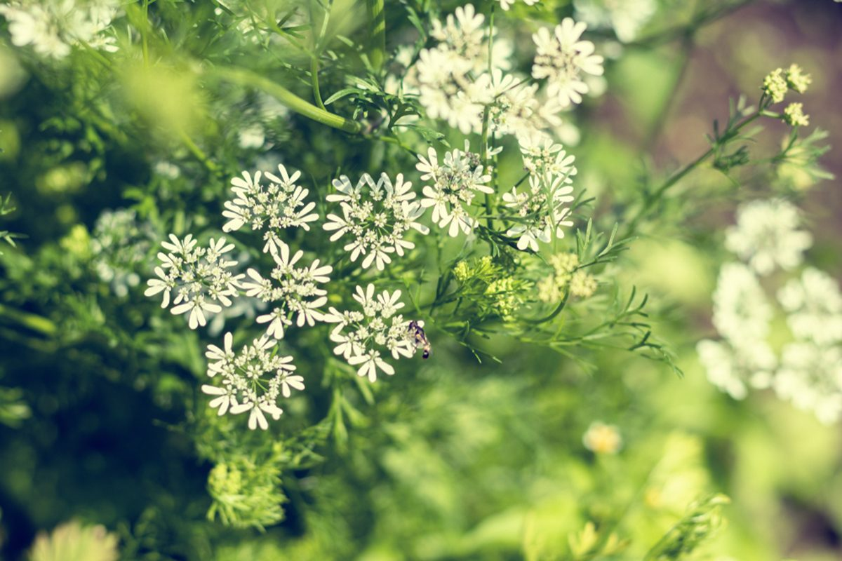 what is anise, anise flowers