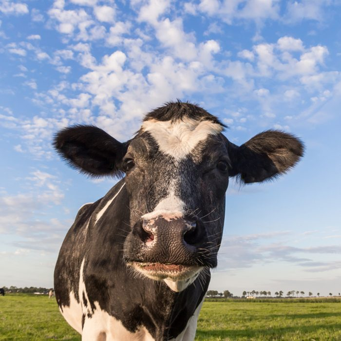 Close up of a dutch black and white cow in Holland