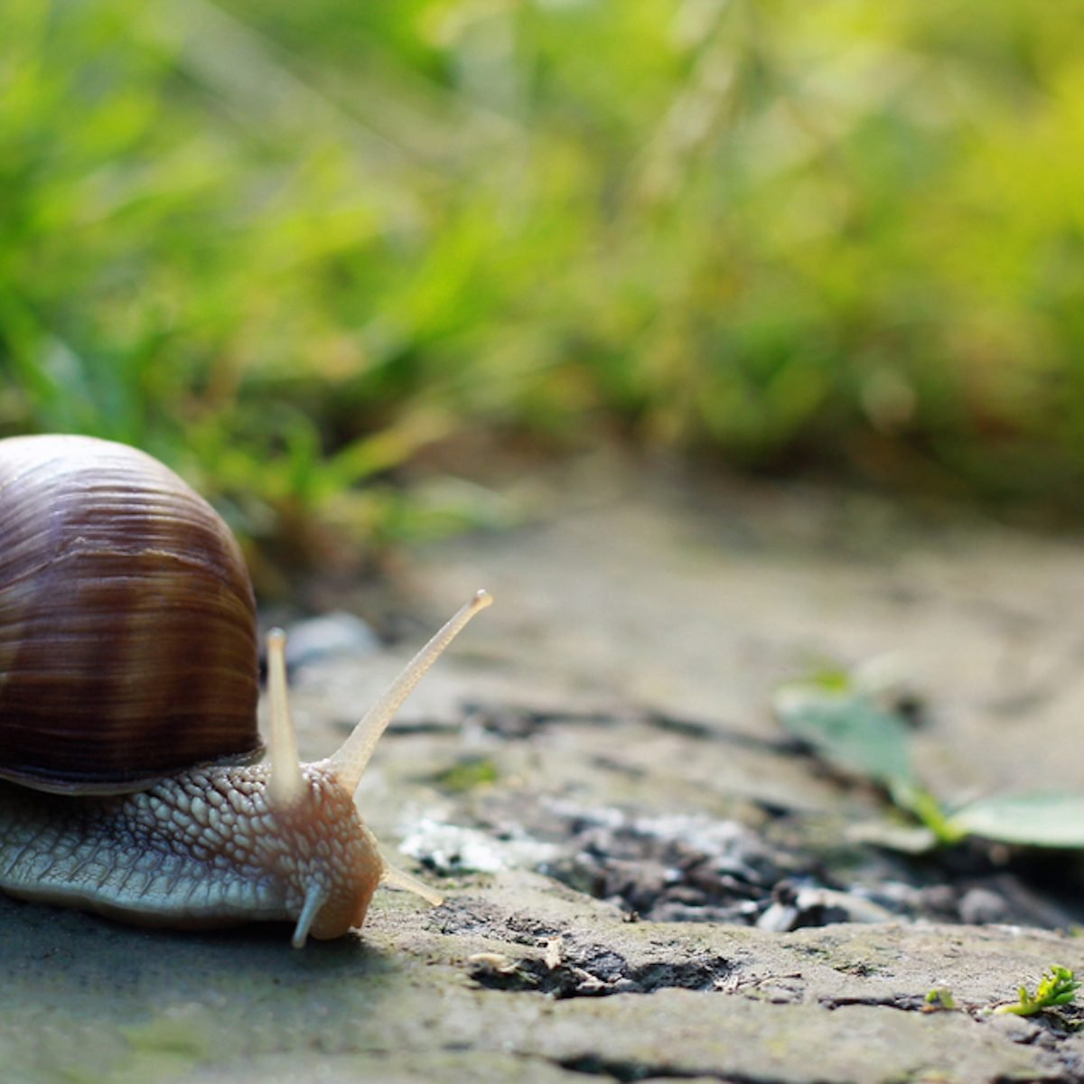 Big snail in shell crawling on road