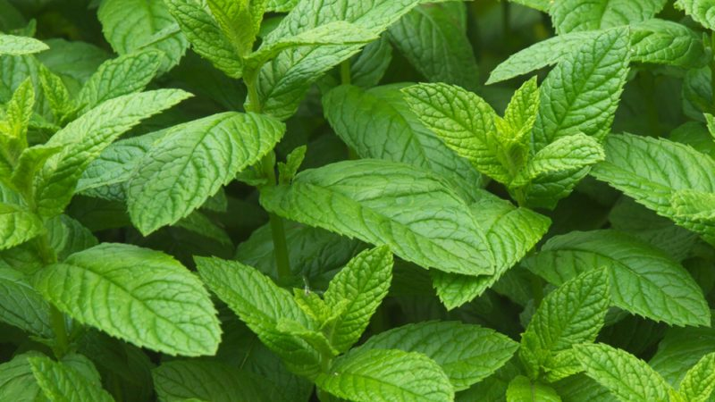mint leaves plant