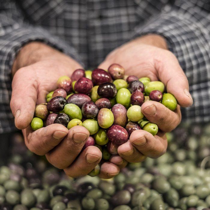 Farmer hands holding a handful of fresh harvested olives.