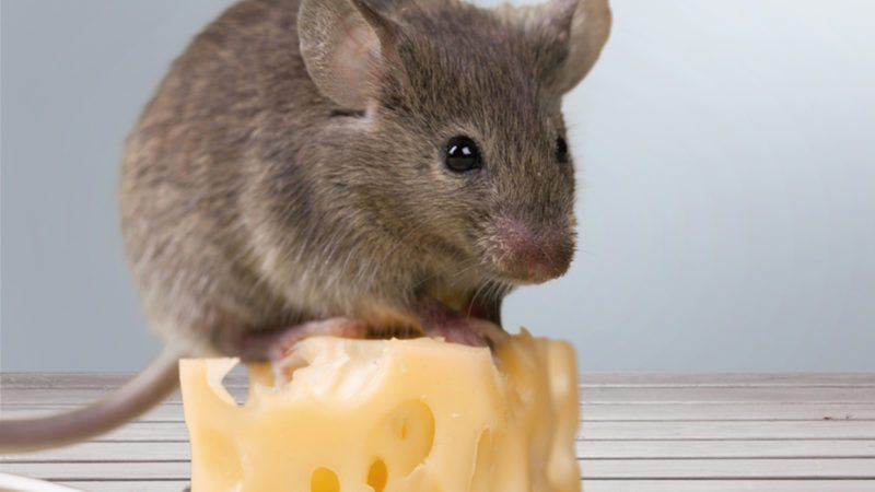 How to Get Rid of Mice: 4 Ideas That Keep Kids and Pets Safe ...