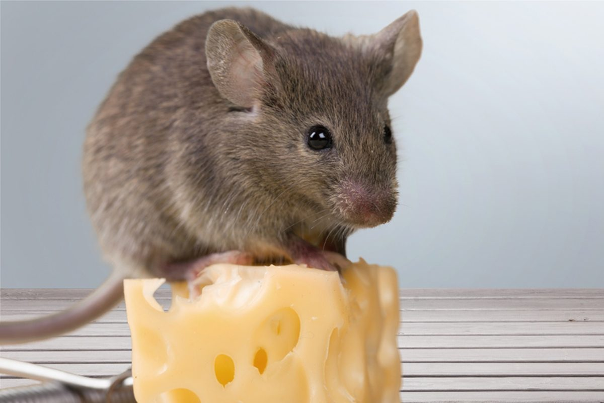 How To Get Rid Of Mice 4 Ideas That Keep Kids And Pets Safe Taste Of Home