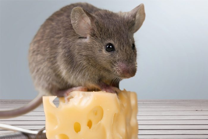 How To Get Rid Of Mice 4 Ideas That, How To Control Mice In Basement