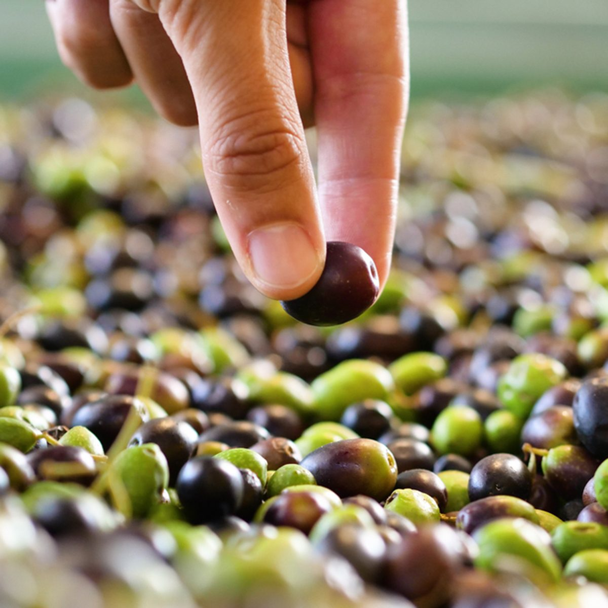 One hand takes in the hands of the olives that have just fallen from the tree for the production of extra virgin olive oil produced in italy to control the quality.