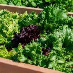 How to Grow a Salad Garden