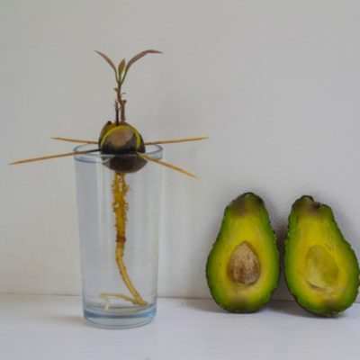 DIY idea grow your own avocado plant.