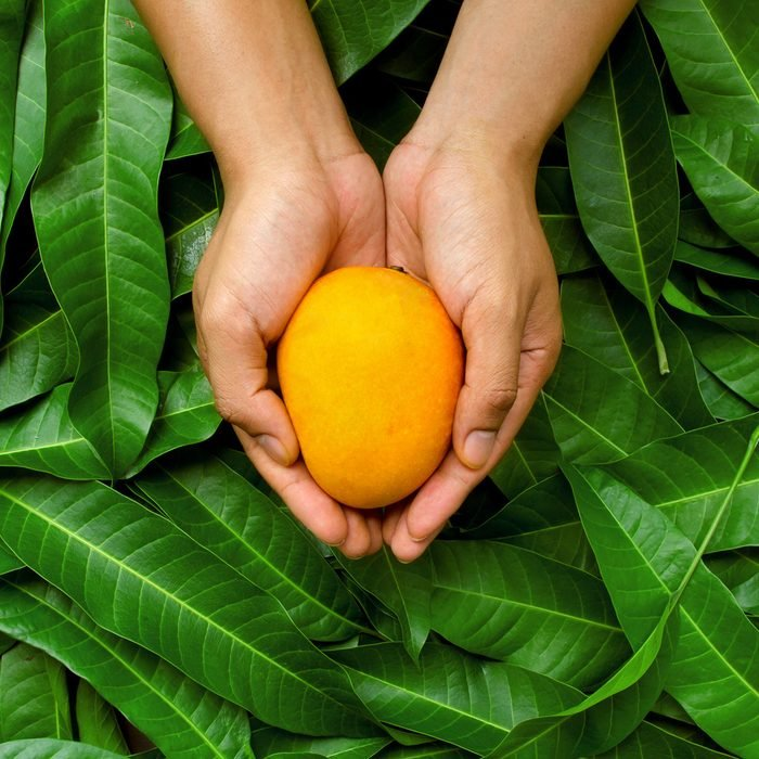 Mango fruit on cupped hand of farmer with green leaf background.