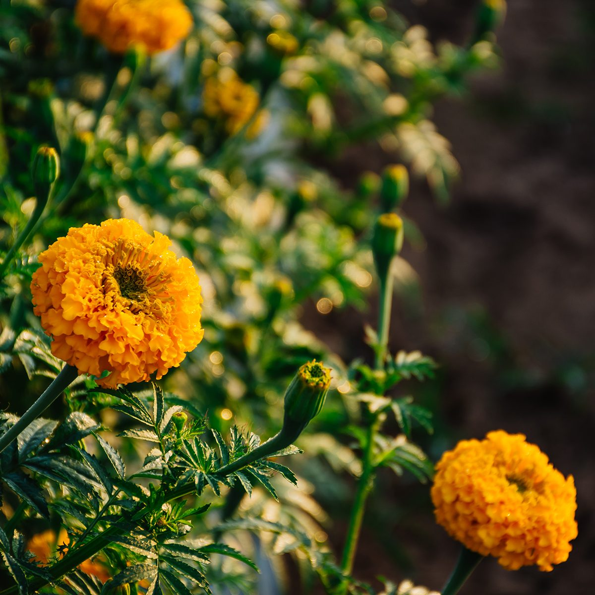 Close up of Marigolds flowers blooming against beautiful sunlight at the garden in Thailand.