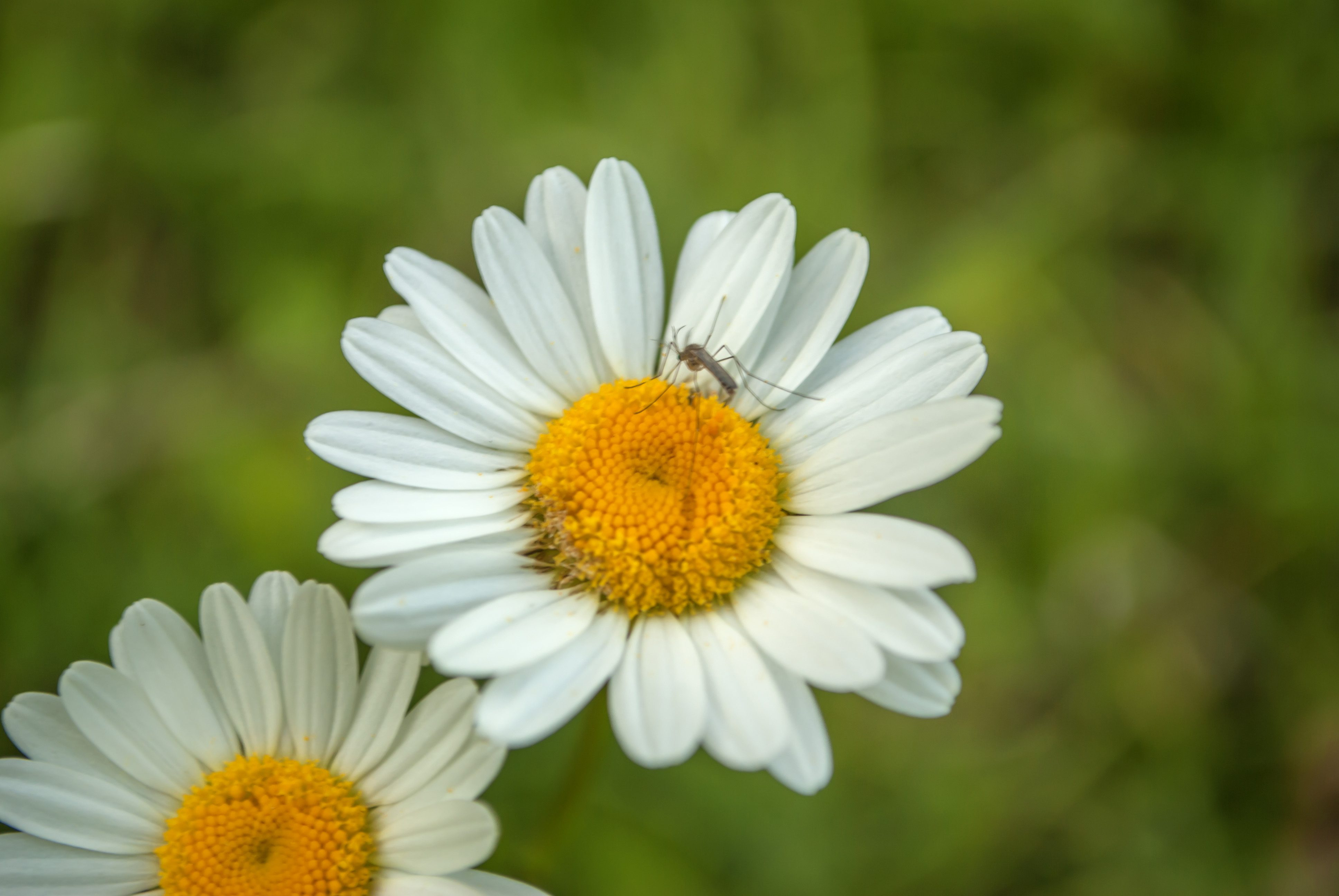 A white and yellow Shasta daisy with another in the soft-focused background. closeup with mosquito on it; Shutterstock ID 650122210; Job (TFH, TOH, RD, BNB, CWM, CM): TOH Mosquitoes Backyard