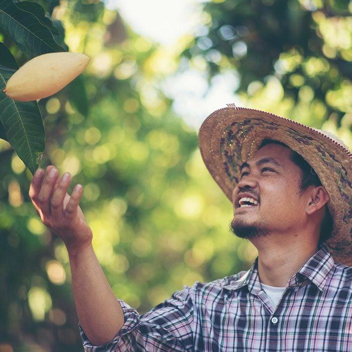 Young smart farmer, mordern mango farm, Thailand fruit