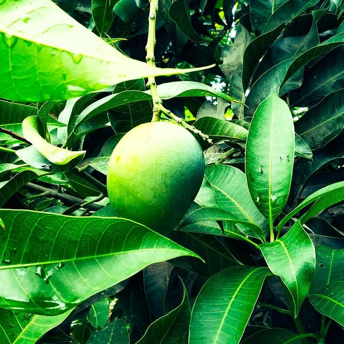 Mango in mango tree surrounded with mango leafs.