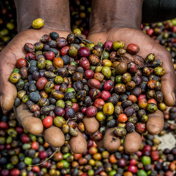 Grains of ripe coffee in the handbreadths of a person.
