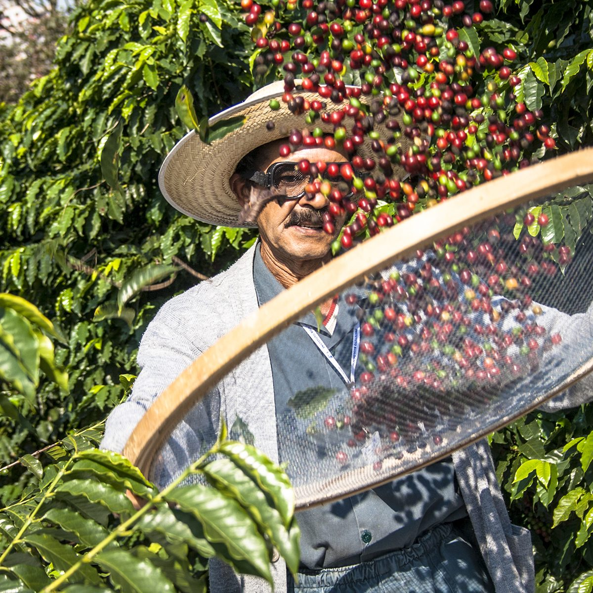Sao Paulo, Brazil. June 18, 2009. Man harvesting coffee on the orchard of the Biological Institute, the oldest urban coffee plantation in the country, located in Vila Mariana,