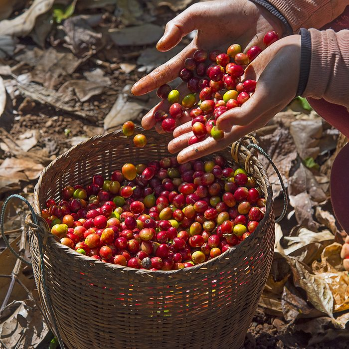 Coffee farmer hands holding freshly picked red ripen arabica coffee berries cherries and pouring them into bamboo basket at coffee plantation
