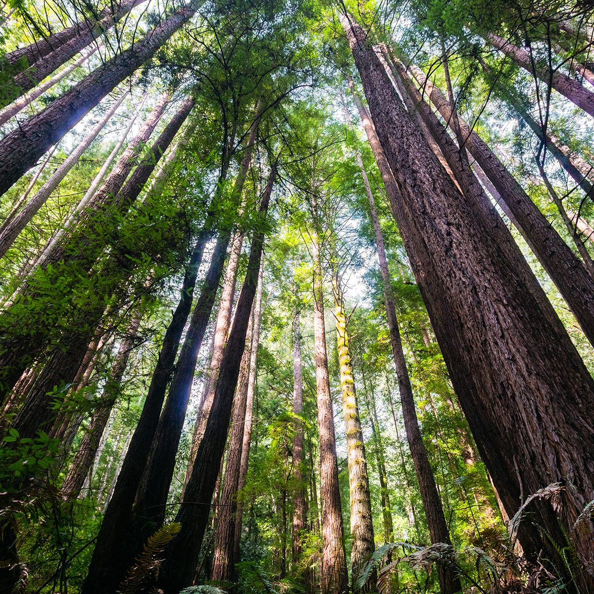 Redwood trees (Sequoia Sempervirens) in the forests of Henry Cowell State Park, Santa Cruz mountains, San Francisco bay area