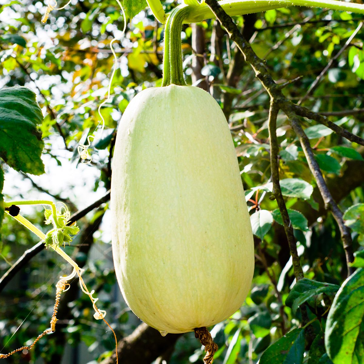 White zucchini in the garden, hanging in the air