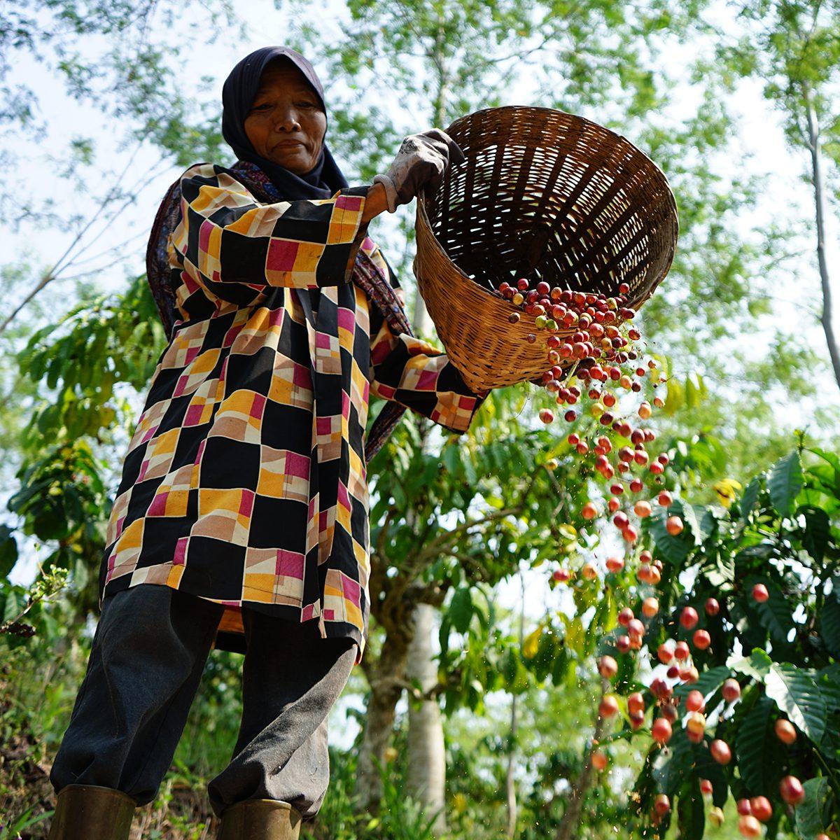 Banaran Coffee Village near the city of Semarang in Central Java, Indonesia,