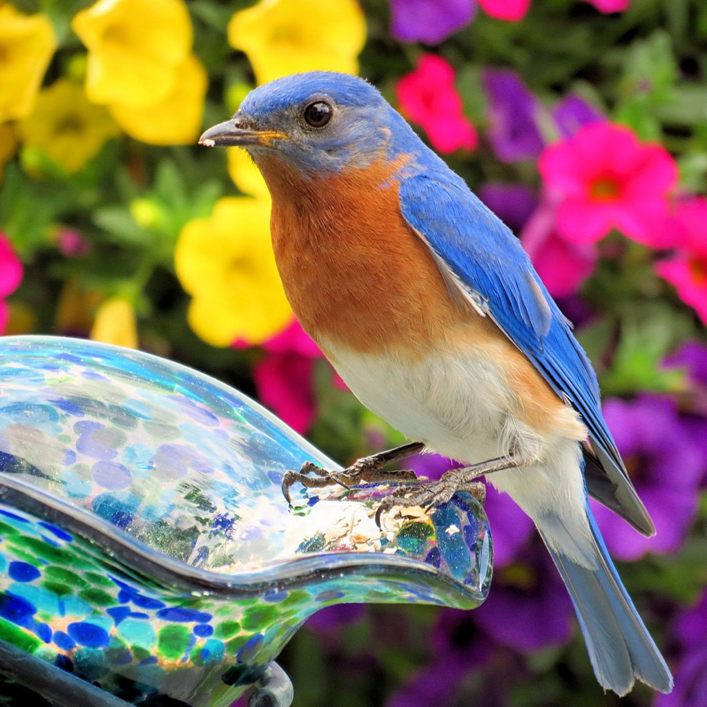 My neighbor made me a bluebird house and I was lucky to get a pair right away. This beautiful male bluebird is enjoying some mealworms I put out for him.