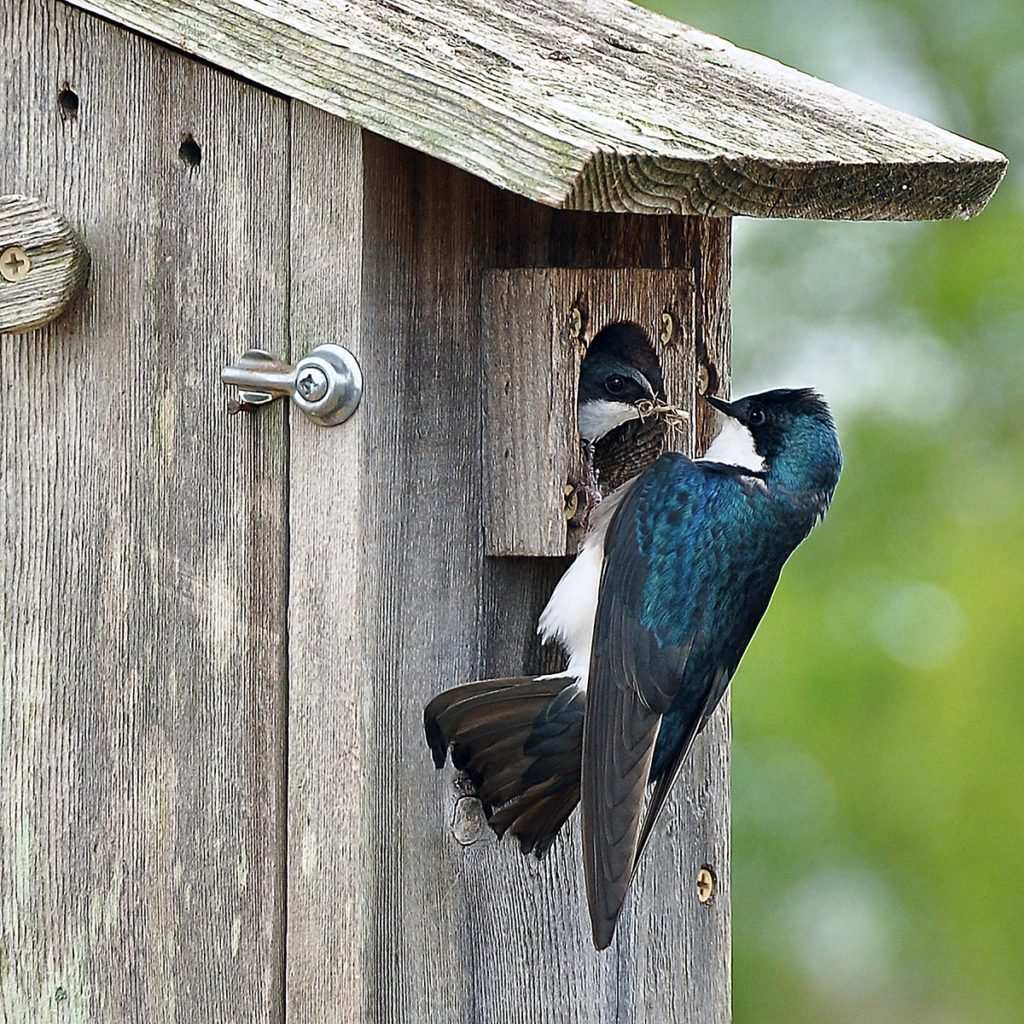 A Tree Swallow had never crossed my path until earlier this year. Feel very fortunate to capture this stunning photo of one adult bringing nest material to the other adult inside the house building the nest. This was photographed in Henry County; TN. (Paris) and is very special to me because it was new to me.