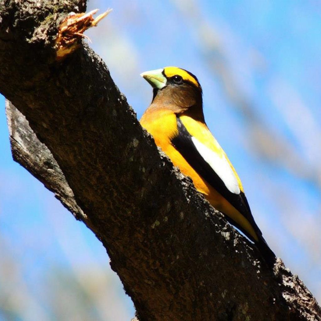 This evening grosbeak was just passing through our yard. I had never seen one before. I was glad I was able to capture him. His colors are so striking against the background; I just love looking at it.