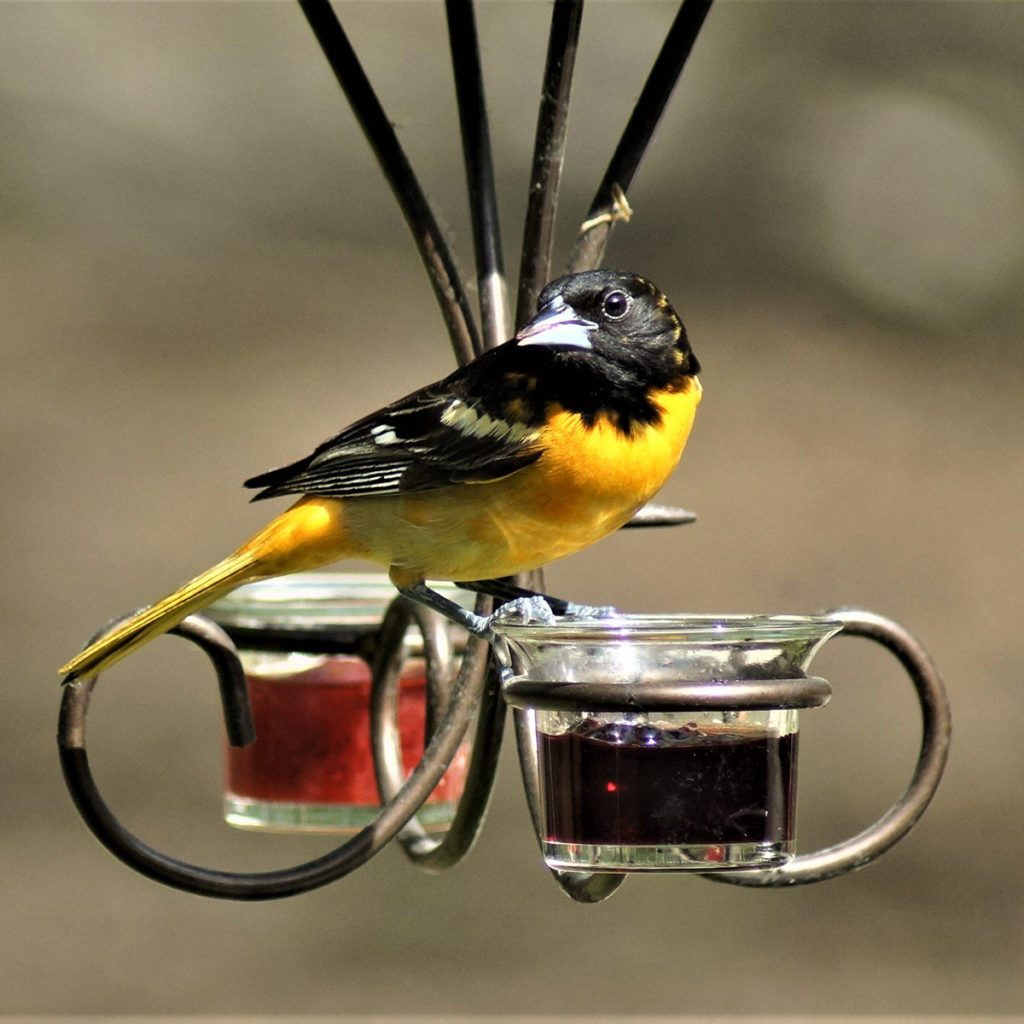 I was outside and spotted the Baltimore Orioles in the tree. I called my husband and we quickly set up the feeders with jelly and placed out several oranges. We barely got into the house when they came to the jelly. We love all the birds that come into our yard they bring such joy to us every year.