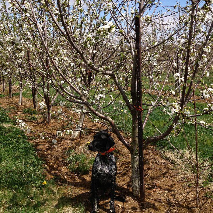 Black dog underneath cherry trees