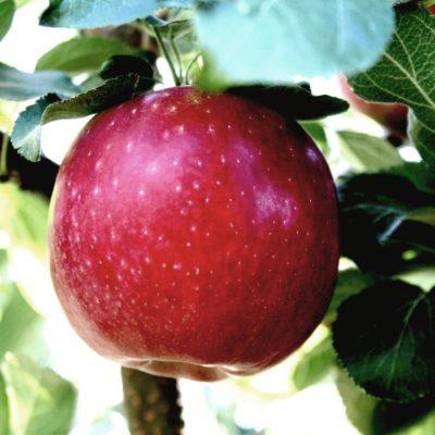 Cosmic Crisp Apple Tree