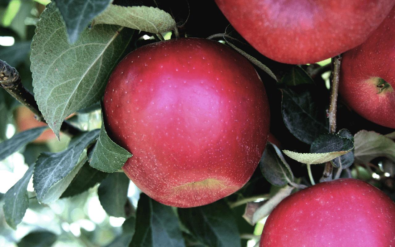 Cosmic Crisp apples on tree