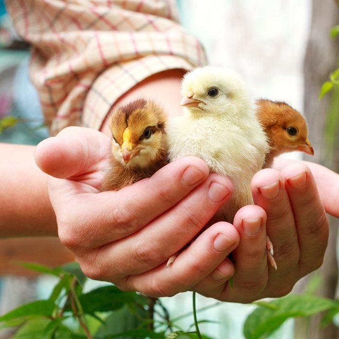Three little cute chick