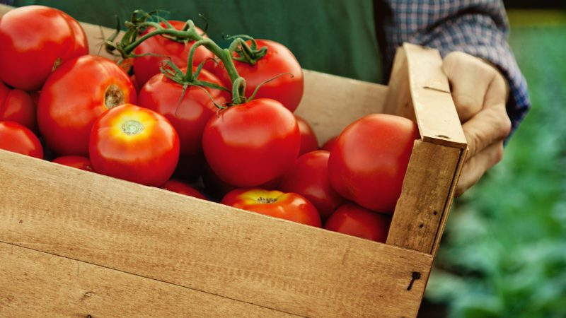 farmer with fresh gathered tomatoes, 617668622