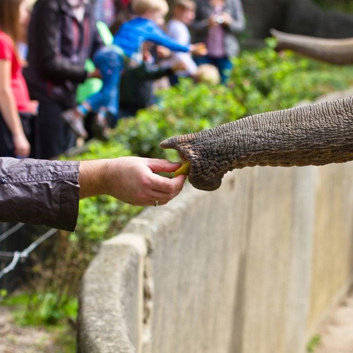 Elephant's trunk and human hand feeding