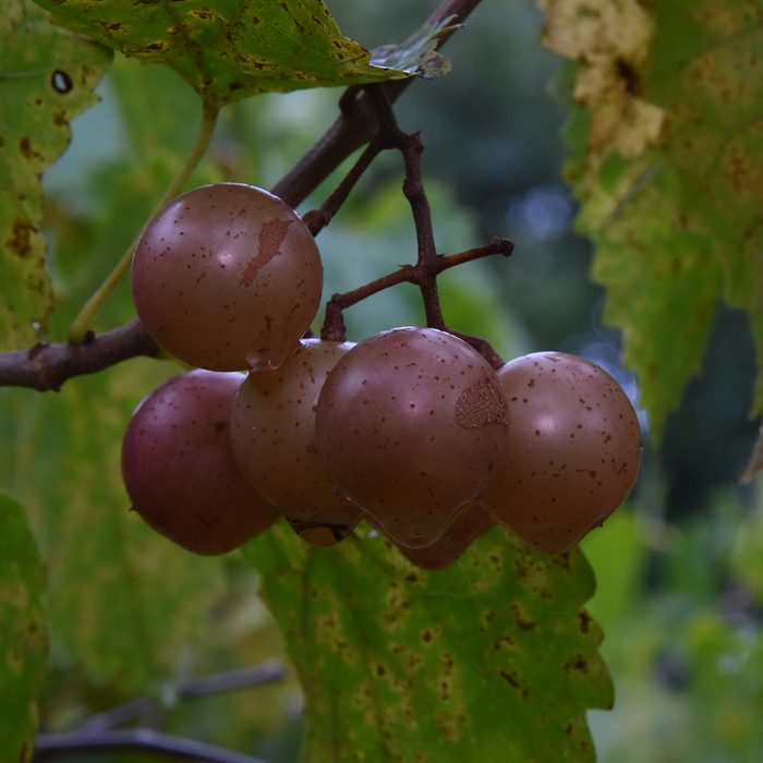 Scuppernong Grapes.