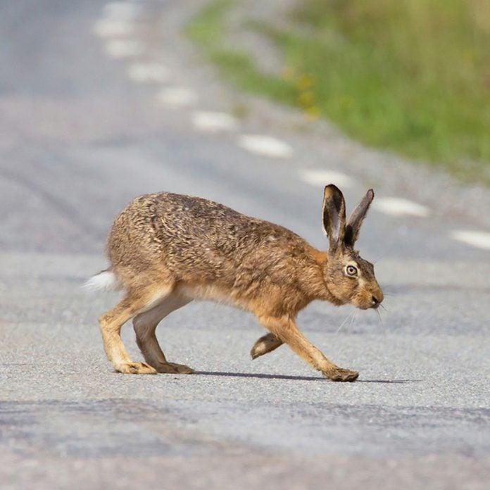 European hare (Lepus europaeus). out on the road.