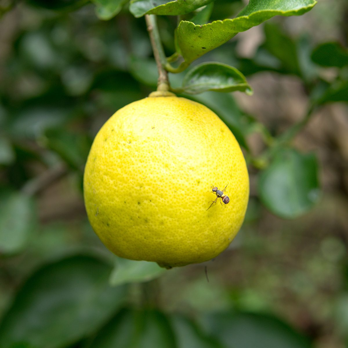 Bug on lemon in tree