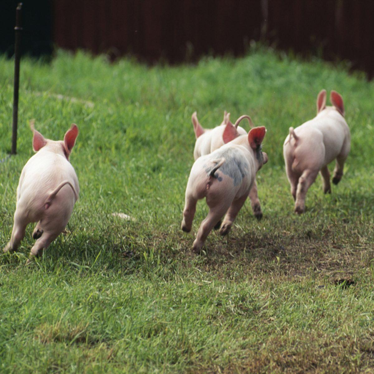 Piglets running in field