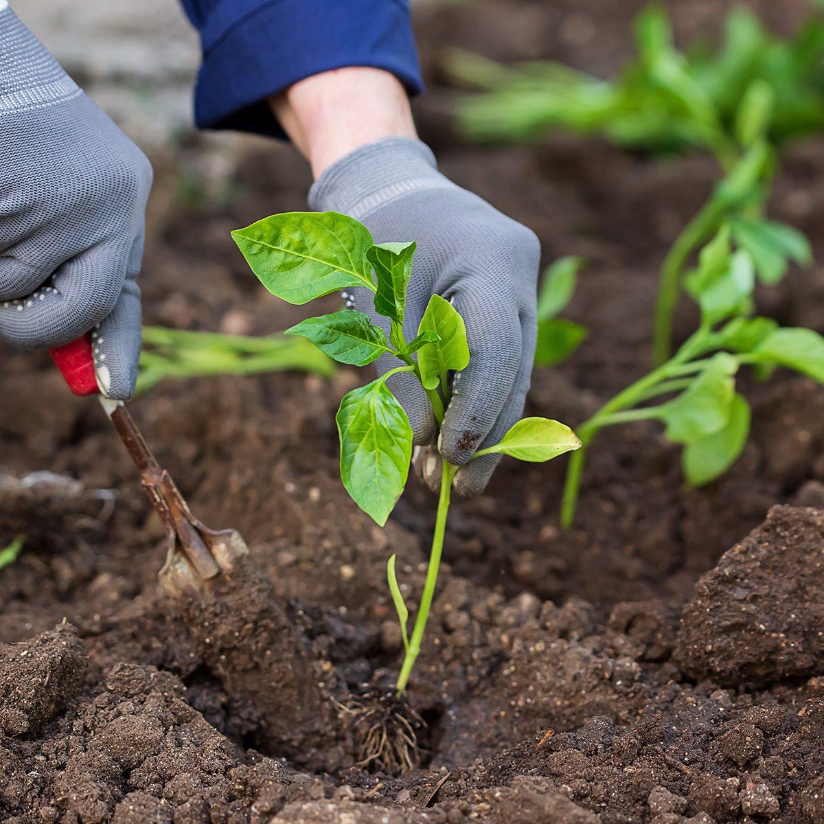 Seedlings pepper. Gardening work.