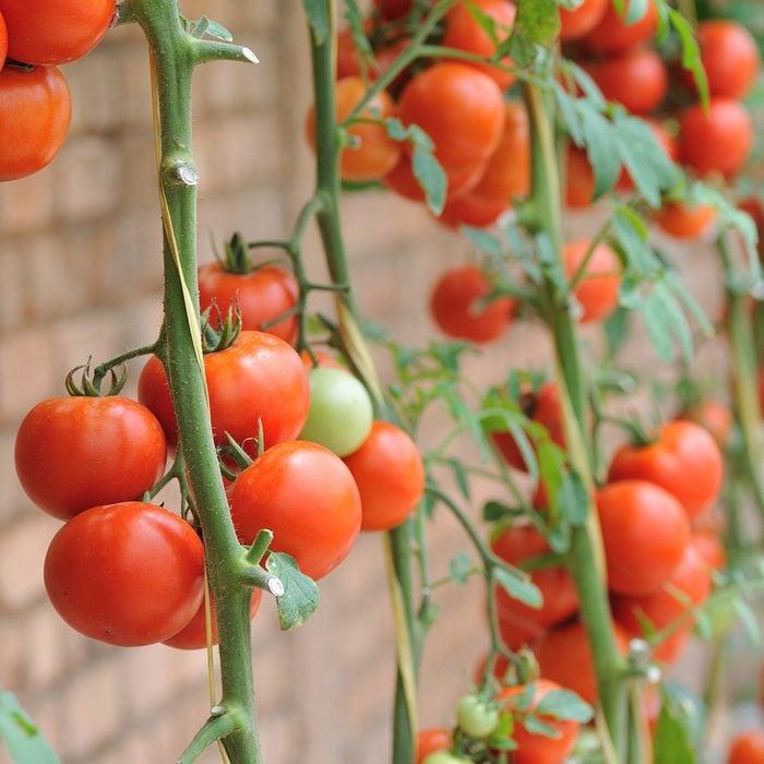 Tomatoes farm ; Shutterstock ID 166379804; Job (TFH, TOH, RD, BNB, CWM, CM): Taste of Home
