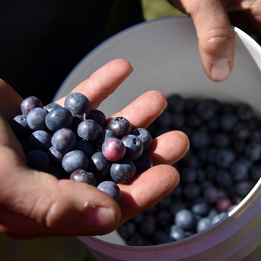 Hand holding bunch of blueberries. Freshly picked wild blueberries. Fresh Blueberries or Bilberries. Group of blueberry or stack of blueberries concept. ; Shutterstock ID 586193468; Job (TFH, TOH, RD, BNB, CWM, CM): Taste of Home