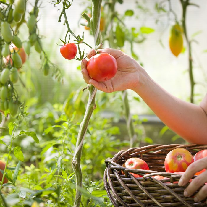 woman's hands harvesting fresh organic tomatoes in her garden on a sunny day. Farmer Picking Tomatoes. Vegetable Growing. Gardening concept; Shutterstock ID 611692862; Job (TFH, TOH, RD, BNB, CWM, CM): Taste of Home