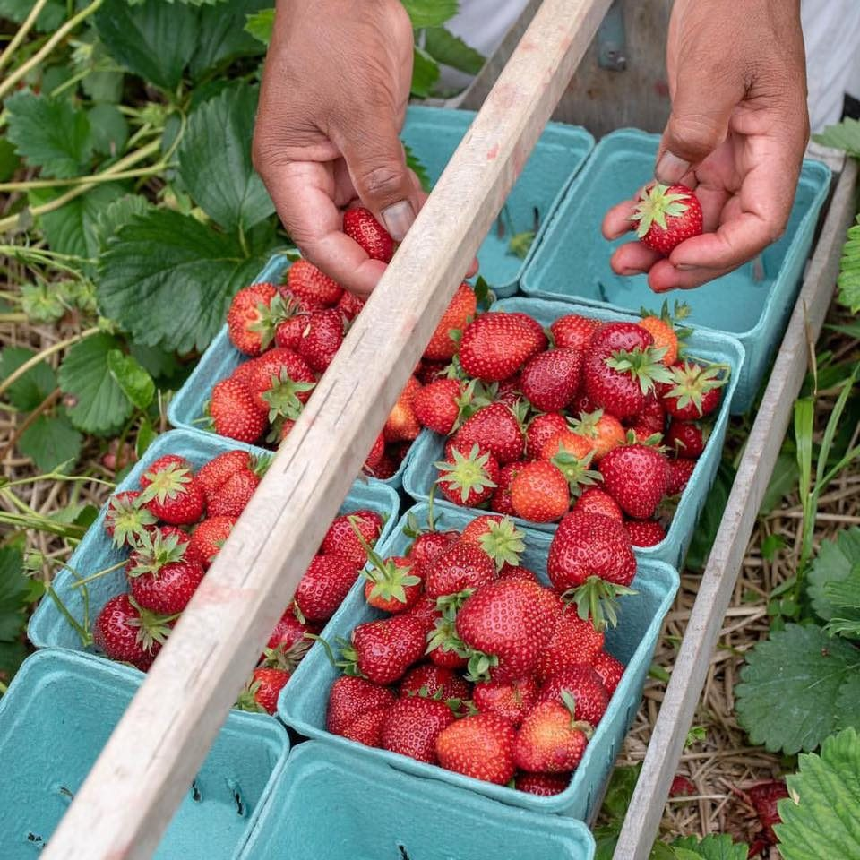 U-pick strawberries