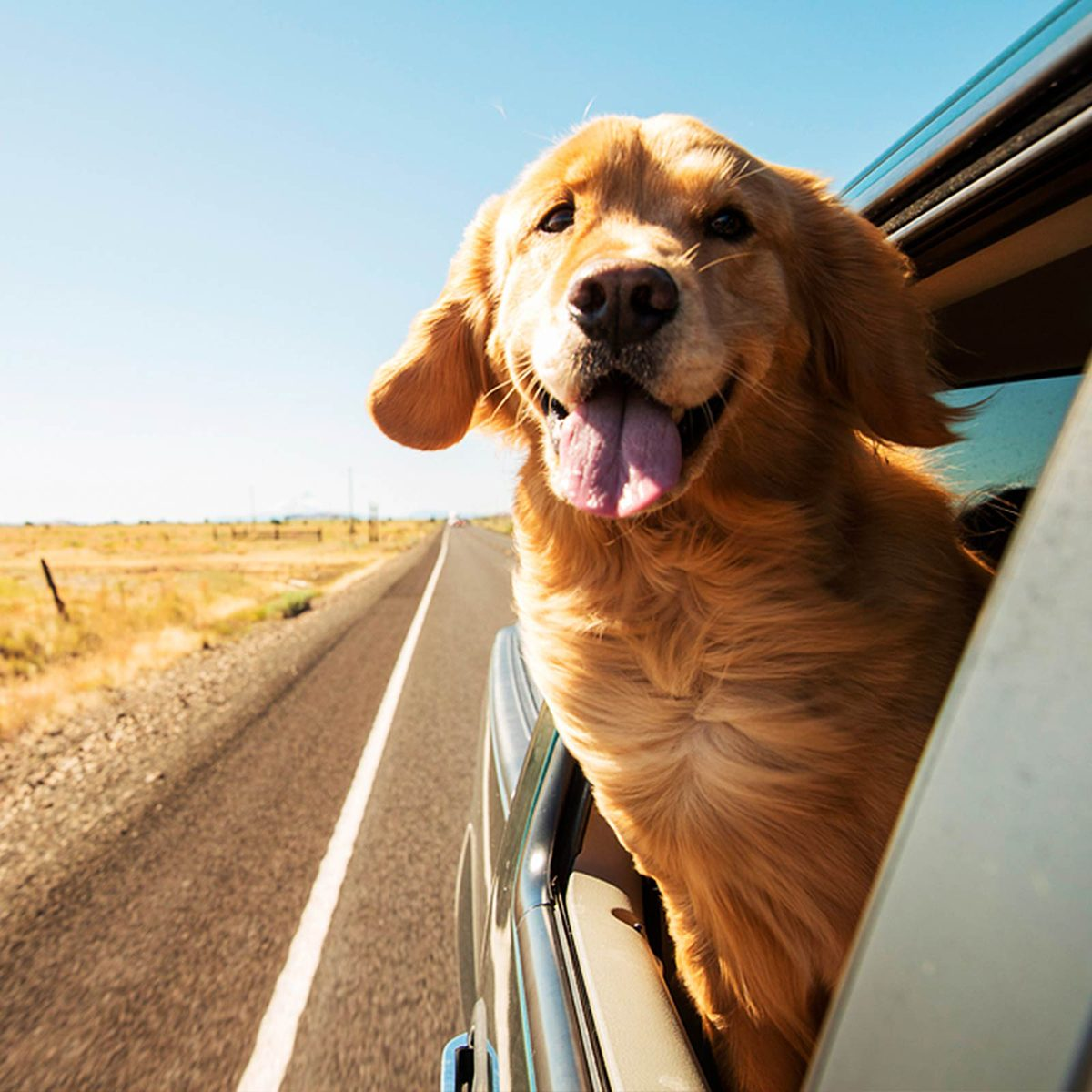 Dog sticking his head out of a car window on country road