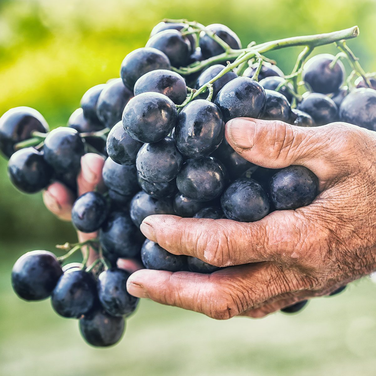 Black or blue bunch grapes in hand old senior farmer.