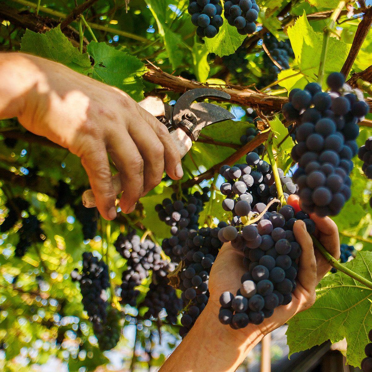 Harvesting in the vineyards.