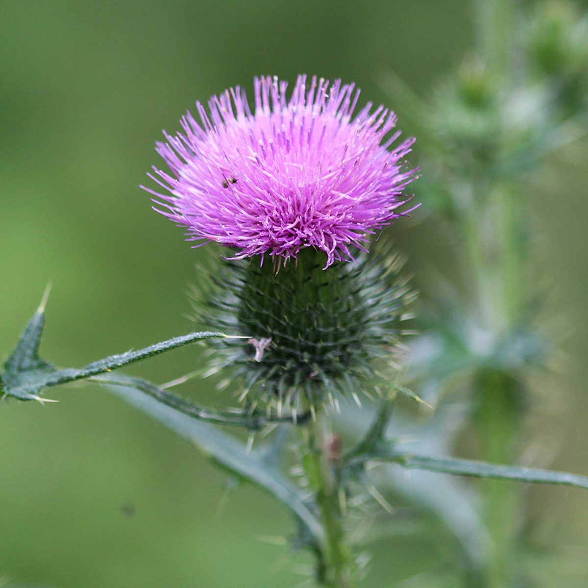 close up of Cirsium vulgare flower, the spear thistle, bull thistle, or common thistle, blooming in summer; Shutterstock ID 1456770161; Job (TFH, TOH, RD, BNB, CWM, CM): TOH
