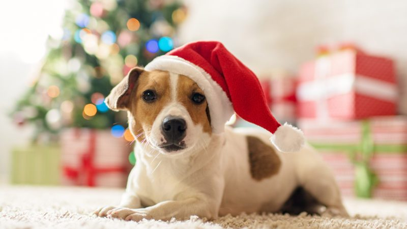 Merry Christmas. Dog Jack Russell Terrier in a house decorated with a Christmas tree and gifts wishes happy Holiday and Christmas Eve; Shutterstock ID 757787893; Job (TFH, TOH, RD, BNB, CWM, CM): Taste of Home