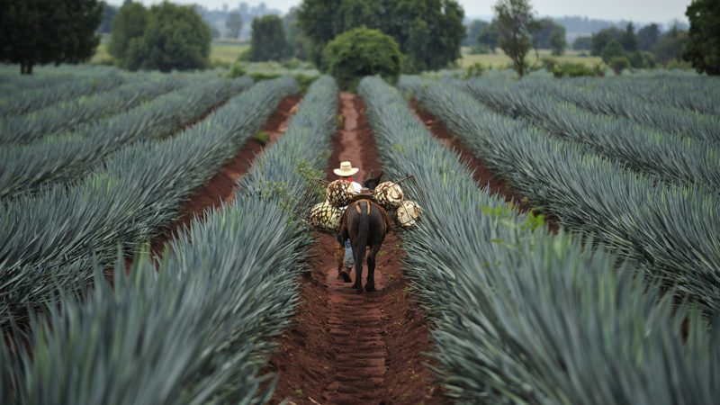 Tequila, Jalisco, Mexico : October.11. 2013: Farmer loading the harvested blue agave by donkey for Tequila production, town of Tequila, Jalisco, Mexico